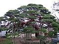 西方寺の傘マツ - panoramio.jpg