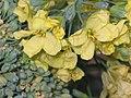 西蘭花 Brassica oleracea v italica -香港北區花鳥蟲魚展 North District Flower Show, Hong Kong- (9216113734).jpg