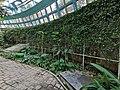 跳舞女郎 Thunbergia mysorensis 20200307185911 12.jpg