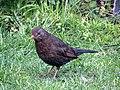 -2019-03-08 Female blackbird (Turdus merula), Trimingham, Norfolk.JPG