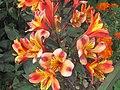 -2020-09-10 Tiger lily (Alstroemeria 'Indian Summer'), Trimingham, Norfolk.JPG