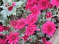 -2020-11-15 Purple Chrysanthemum, Trimingham.JPG