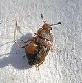 01 04 09a (24) Coleoptera (3420302684).jpg