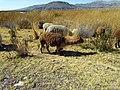 024 Alpacas Puno Peru 3291 (15139174561).jpg