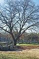 02 2020 Grecia photo Paolo Villa FO199972 (Olimpia parco archeologico - Ginnasio e albero - Gym column doric order and tree).jpg