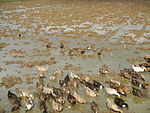 09489jfRoads Rice Domesticated ducks Paligui Candaba Pampangafvf 24.JPG