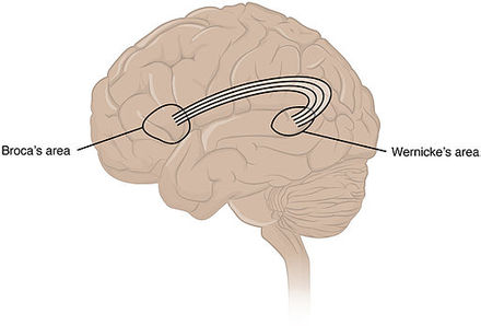 Broca's area and Wernicke's area are linked by the arcuate fasciculus. 1605 Brocas and Wernickes Areas-02.jpg