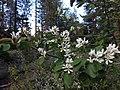 170613-FS-Tahoe-ServiceBerry (36435718831).jpg