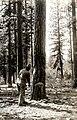 1920. Felling ponderosa pine. Western pine beetle control. Jenny Creek, Oregon. (33224731180).jpg