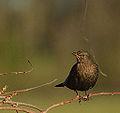 1st Winter Female Blackbird (2) (11606051164).jpg