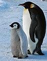 2007 Snow-Hill-Island Luyten-De-Hauwere-Emperor-Penguin-04.jpg