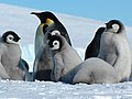 2007 Snow-Hill-Island Luyten-De-Hauwere-Emperor-Penguin-72.jpg