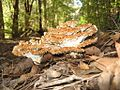 2010-05-25 Ryvardenia campyla (Berk.) Rajchenb 87047.jpg