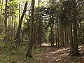 2013-05-06 16 39 47 View southwest along the Swamp Trail through a Red Spruce grove in Jenny Jump State Forest.jpg