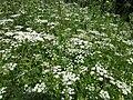 20130607Chaerophyllum temulum1.jpg