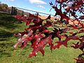 2014-11-02 11 43 26 Scarlet Oak foliage during autumn along Lower Ferry Road in Ewing, New Jersey.JPG