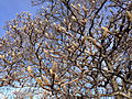 2014-12-30 13 35 52 Saucer Magnolia branches and flower buds at the intersection of Pennington Road (New Jersey Route 31) and Bradway Avenue in Ewing, New Jersey.JPG