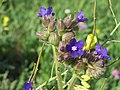 20140827Anchusa officinalis1.jpg