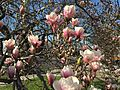 2015-04-12 17 17 35 Saucer Magnolia blossoms on Princeton Avenue in Lawrence, New Jersey.jpg