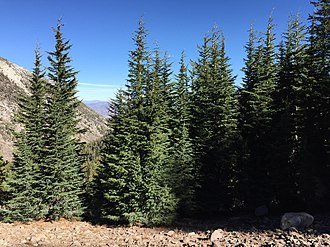 Tsuga mertensiana - Grove of subsp. grandicona in the Carson Range of Nevada