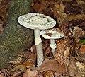 2015.10.10.-08-Viernheim--Gruener Knollenblaetterpilz ks01.jpg
