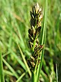 20150422Carex cuprina09.jpg