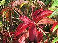 20160813Parthenocissus quinquefolia2.jpg
