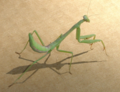 2017-10-15 1633 praying mantis photo by Mitzi Humphrey.png
