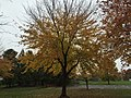2017-11-09 15 16 54 Red Maple during late autumn in Franklin Farm Park in the Franklin Farm section of Oak Hill, Fairfax County, Virginia.jpg