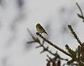 2017.01.27.-12-Paradiski-La Plagne-Champagny-en-Vanoise--Erlenzeisig-Maennchen.jpg