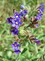 20170605Anchusa officinalis1.jpg