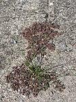 20170822Euphorbia maculata08.jpg
