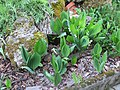 2018-05-13 (112) Convallaria majalis (lily-of-the-valley) at Bichlhäusl in Frankenfels, Austria.jpg
