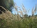 20180816Calamagrostis epigejos3.jpg