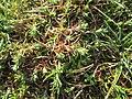 20190308Scleranthus annuus1.jpg