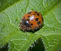 24 Spot Ladybird - Subcoccinella vigintiquattuorpunctata (17385990154).jpg