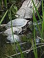 4 Wasserschildkröten.JPG