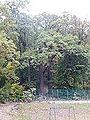 504 oak Gdańsk.jpg