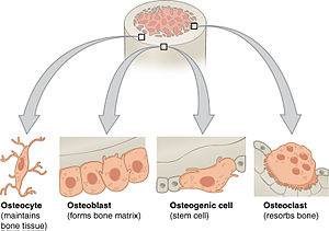 Bone tissue - Bone cells