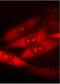 ARC-1034 localization in cells.png