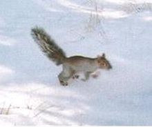 AZ gray squirrel.jpg