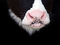 A calf's nose.jpg
