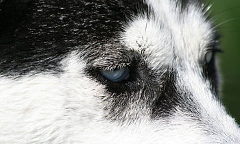 A glance of a Husky.jpg