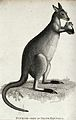 A kangaroo. Etching by J. Le Keux. Wellcome V0020727.jpg