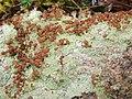 A lichen - Baeomyces rufus - geograph.org.uk - 1092674.jpg