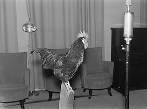 Sound effect - A live rooster in the Yle recording studio in 1930s Finland