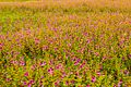 A sea of flowers kas plateau.jpg