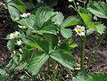 Aardbeienplant R01.jpg