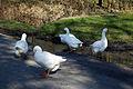 Abbess Roding domestic Emden geese - Essex England 03.jpg