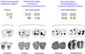 Abdounodus - evolution of hyopcone.PNG
